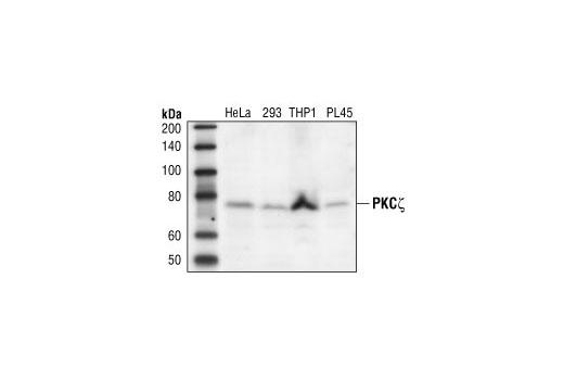 Polyclonal Antibody Western Blotting Pkczeta