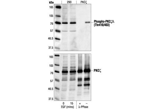 Western blot analysis of extracts from 293 cells, untreated or EGF-treated (100 ng/ml) and purified PKCzeta, untreated or lambda phosphatase-treated, using Phospho-PKCzeta/lambda (Thr410/403) Antibody (upper) or PKCzeta antibody (lower).