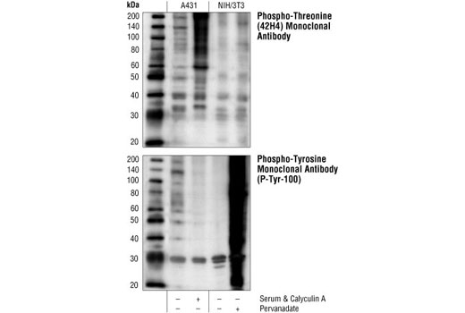 Western blot analysis of extracts from A431 cells, untreated or treated with calyculin A, a threonine phosphatase inhibitor, or extracts from NIH/3T3 cells, untreated or treated with pervanadate, a tyrosine phosphatase inhibitor, using Phospho-Threonine (42H4) Mouse mAb (upper) or Phospho-Tyrosine Monoclonal Antibody (P-Tyr-100) #9411 (lower).
