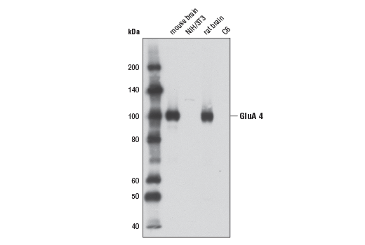 Western blot analysis of extracts from mouse brain, NIH/3T3 cells, rat brain, and C6 cells using AMPA Receptor 4 (GluA 4) (D41A11) XP<sup>®</sup> Rabbit mAb.
