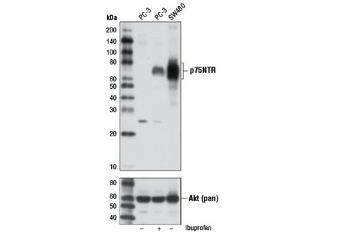 Western blot analysis of extracts from PC-3 cells, untreated (-) or ibuprofen-treated (2 mM, 24 hr) (+), and SW480 cells (-) using p75NTR (D4B3) XP<sup>®</sup> Rabbit mAb (upper) and Akt (pan) (C67E7) Rabbit mAb #4691 (lower).