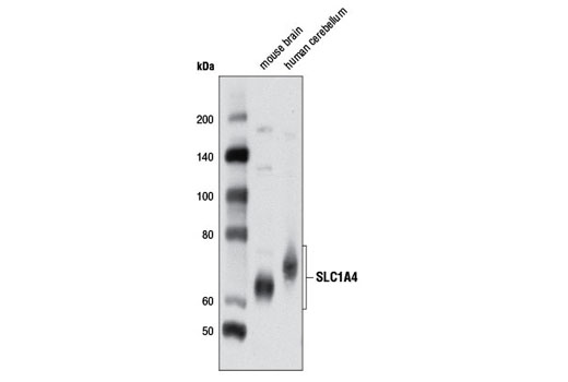 Polyclonal Antibody Western Blotting L-Cystine Transmembrane Transporter Activity
