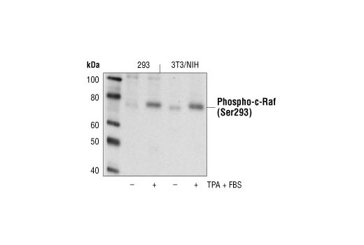 Western blot analysis of extracts from 293 and NIH/3T3 cells, untreated or treated with TPA + FBS, using Phospho-c-Raf (Ser296) Antibody.