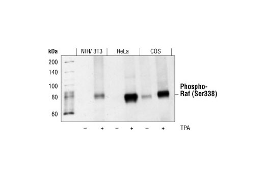 Western blot analysis of extracts from NIH3T3, HeLa and COS cells, untreated or treated with TPA, using Phospho-c-Raf (Ser338) (56A6) Rabbit mAb.