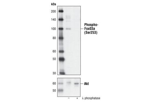 Rat foxo3a Ser253 Phosphate