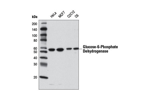 Polyclonal Antibody Western Blotting Nadph Regeneration - count 2