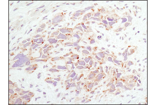 IHC-P (paraffin) Image 9 - Rag and LAMTOR Antibody Sampler Kit