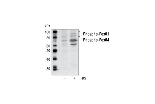 Western blot analysis of extracts from Cos cells, serum-starved or with serum treatment, using Phospho-Fox04 (Ser193) Antibody.