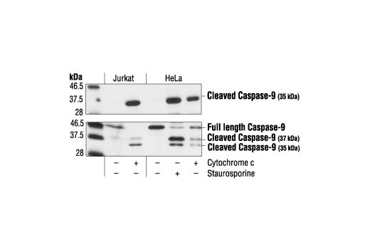 Western blot analysis of extracts from Jurkat cells, untreated or cytochrome c-treated (0.25 mg/ml), and HeLa cells, untreated, staurosporine-treated (1 µM), or cytochrome c-treated (0.25 mg/ml), using Cleaved Caspase-9 (Asp315) Antibody (Human Specific) (upper) or Caspase-9 Antibody (Human Specific) #9502 (lower).