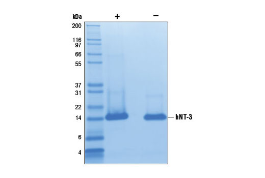 Growth Factors and Cytokines - Human Neurotrophin-3 (hNT-3), UniProt ID P20783, Entrez ID 4908 #5237