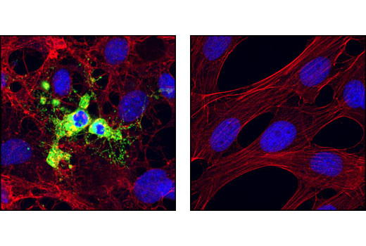 Immunofluorescence Image 1: Cleaved Caspase-9 (Asp353) Antibody (Mouse Specific)