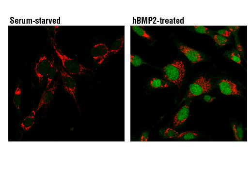Confocal immunofluorescent analysis of HT1080 cells, serum-starved (left) or serum-starved then treated with hBMP2 (50 ng/ml, 30 min; right) using Phospho-Smad1/5 (Ser463/465) (41D10) Rabbit mAb (green) and Cox IV (4D11-B3-E8) Mouse mAb #11967 (red).