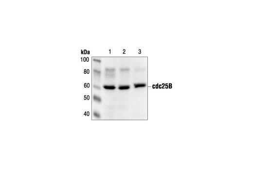 Polyclonal Antibody - cdc25B Antibody - Western Blotting, UniProt ID P30305, Entrez ID 994 #9525, Cdc25b