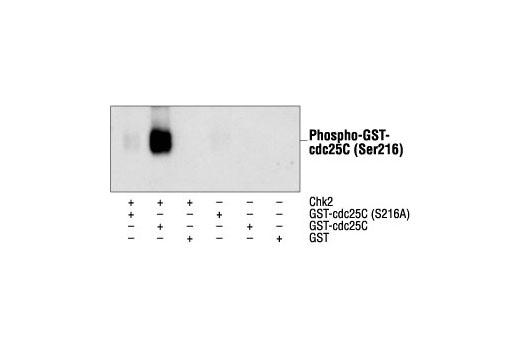 Polyclonal Antibody - Phospho-cdc25C (Ser216) Antibody - Western Blotting, UniProt ID P30307, Entrez ID 995 #9528 - #9528
