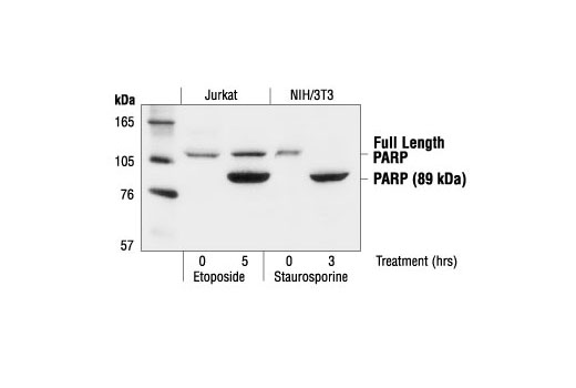 Western blot analysis of extracts from NIH/3T3 cells, untreated or staurosporine-treated (1 µM), and Jurkat cells, untreated or etoposide-treated (25 µM), using PARP Antibody.