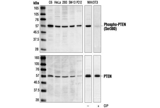 Western blot analysis of extracts from various cell lines, using Phospho-PTEN (Ser380) Antibody (upper) or PTEN Antibody #9552 (lower). The phospho-specificity of the antibody was confirmed by treating the membrane with calf intestinal alkaline phosphatase (CIP) after Western transfer.