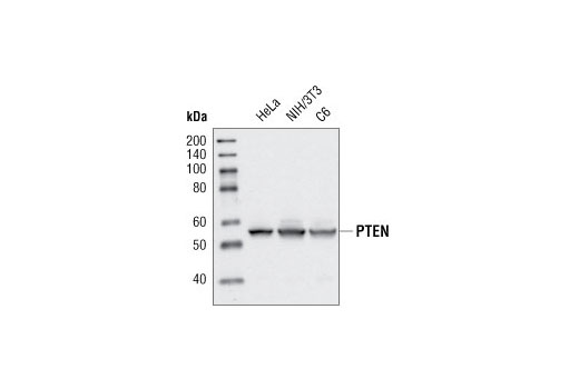 Western blot analysis of extracts from various cell lines, using PTEN Antibody.