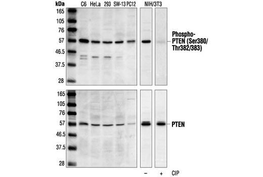 Western blot analysis of extracts from various cell lines, using Phospho-PTEN (Ser380/Thr382/Thr383) Antibody (upper) or PTEN Antibody #9552 (lower). The phospho-specificity of the antibody was confirmed by treating the membrane with calf intestinal alkaline phosphatase (CIP) after Western transfer.