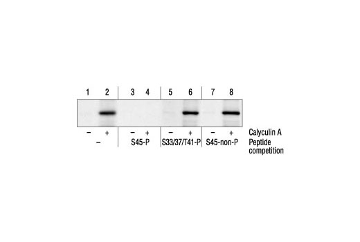 Western blot analysis of extracts from HEK293 cells untreated and treated with 50 nM calyculin A for 30 minutes, using Phospho-β-Catenin (Ser45) Antibody (lanes 1-2) or the same antibody after preincubation with listed peptides (lanes 3-8). (S45-P is phospho-Ser45 peptide; S33/37/T41-P is phospho-Ser33/37/Thr41 peptide; S45-non-P is nonphospho-Ser45 peptide.)