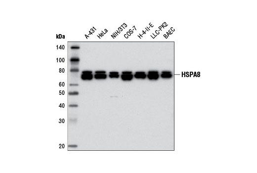 Western blot analysis of extracts from various cell lines using HSPA8 (D12F2) Rabbit mAb.