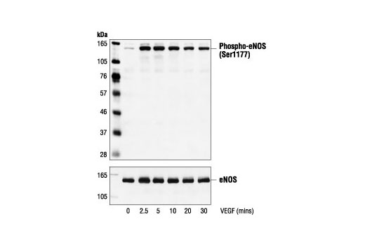 Polyclonal Antibody Western Blotting Cadmium Ion Binding