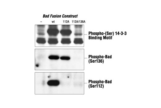 Polyclonal Antibody Immunoprecipitation 14-3-3 Binding Motif Phosphate