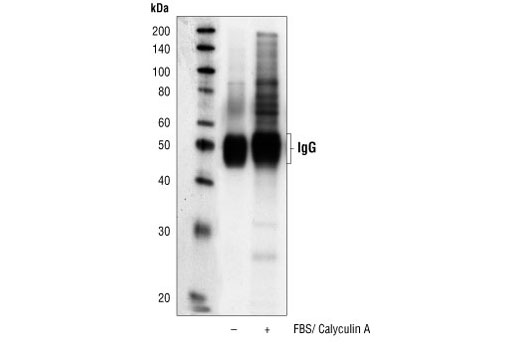 Immunoprecipitation of extracts from serum-starved NIH/3T3 cells, untreated or treated with FBS/Calyculin A, using Phospho-Akt Substrate (RXXS*/T*) (110B7E) Rabbit mAb, followed by Western blot analysis using the same antibody.