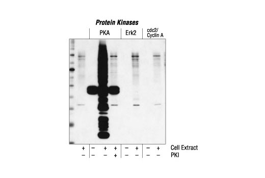 Western blot analysis of extracts from A431 cells, phosphorylated in vitro by protein kinase A, Erk2 or cdc2/cyclin A, plus or minus PKA inhibitor (PKI), using Phospho-(Ser/Thr) PKA Substrate Antibody.