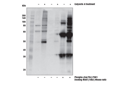 Immunoprecipitation of extracts from Jurkat cells, untreated or treated with 0.1nM Calyculin A for 30 minutes prior to lysis, using Phospho-(Ser/Thr) Docking Motif (18A2) Mouse mAb. Lanes 1 and 2 are 10% input, lanes 3 and 4 are Protein A Agarose Beads #9863 control, and lanes 5 and 6 are Phospho-(Ser/Thr) Docking Motif (18A2) Mouse mAb. Western blot analysis was performed using Phospho-(Ser/Thr) Docking Motif (18A2) Mouse mAb.