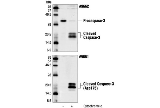 Cell Extract Kit - Caspase-3 Control Cell Extracts - Western Blotting - 100 µl #9663 - Signal Transduction Reagents