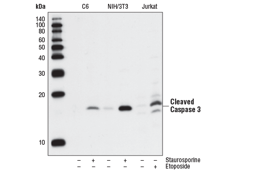 Western blot analysis of extracts from C6 (rat), NIH/3T3 (mouse), and Jurkat (human) cells, untreated or treated with staurosporine #9953 (1uM, 3hrs) or etoposide #2200 (25uM, 5hrs) as indicated, using Cleaved Caspase-3 (Asp175) (5A1E) Rabbit mAb.
