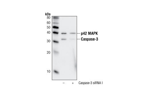 Western blot analysis of extracts from HeLa cells, transfected with 100 nM SignalSilence<sup>®</sup> Control siRNA (Fluorescein Conjugate) #6201 (-) or SignalSilence<sup>®</sup> Caspase-3 siRNA I (+), using Caspase-3 (8G10) Rabbit mAb and p42 MAPK Antibody #9108. Caspase-3 (8G10) Rabbit mAb confirms silencing of caspase-3 expression, while the p42 MAPK Antibody is used to control for loading and specificity of caspase-3 siRNA.