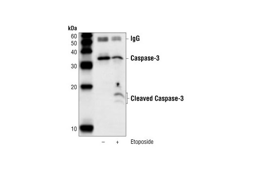 Immunoprecipitation of cleaved caspase-3 from Jurkat cell extracts untreated (control) or treated with etoposide (25uM 5hrs) (apoptotic) using Caspase-3 (8G10) Rabbit mAb, and western probed with the same antibody.