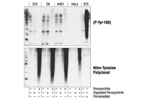 Polyclonal Antibody - Nitro-Tyrosine Antibody - Western Blotting - 100 µl #9691 - Primary Antibodies