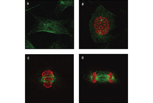 Confocal immunofluorescent analysis of NIH/3T3 cells labeled with Phospho-Histone H3 (Ser10) (6G3) Mouse mAb (red) and alpha/beta-Tubulin Antibody #2148 (green) showing different stages of the cell cycle. Nonmitotic (A), prophase (B), metaphase (C) and anaphase (D).