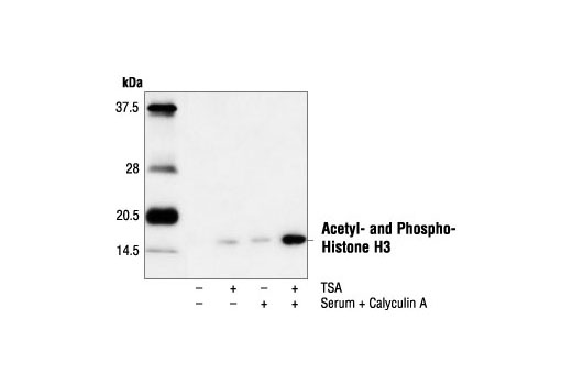 Polyclonal Antibody - Acetyl- and Phospho-Histone H3 (Lys9/Ser10) Antibody, UniProt ID P68431, Entrez ID 8350 #9711, Chromatin Regulation / Acetylation