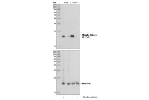 Western blot analysis of extracts from NIH/3T3 and HeLa cells, untreated or calyculin A and 20% FCS treated, using Phospho-Histone H3 (Thr3) Antibody (upper) or Histone H3 Antibody #9715 (lower).