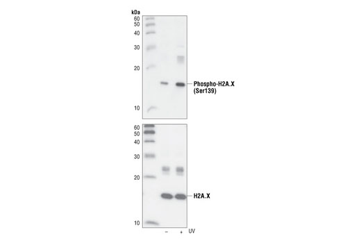 Western blot analysis of extracts from untreated or UV-treated 293 cells, using Phospho-Histone H2A.X (Ser139) (20E3) Rabbit mAb (upper) or Histone H2A.X Antibody #2595 (lower).