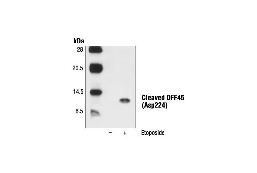 Polyclonal Antibody Dna Fragmentation During Apoptosis