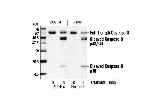 Western blot analysis of extracts from SKW6.4 cells, untreated or anti-Fas-treated (1 µg/ml), and Jurkat cells, untreated or etoposide-treated (25 µM), using Caspase-8 (1C12) Mouse mAb.
