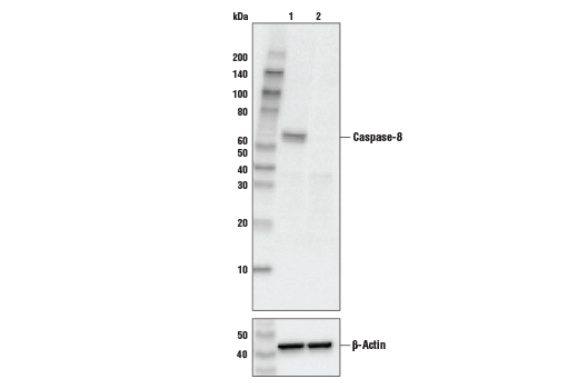 Western blot analysis of HeLa cell extracts, untreated (-) or Caspase-8 knock-out (+), using Caspase-8 (1C12) Mouse mAb #9746 (upper), or β-actin (13E5) Rabbit mAb #4970 (lower).