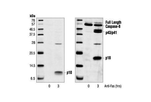 Western blot analysis of extracts from SKW6.4 cells, untreated or anti-Fas-treated (1 µg/ml), using Cleaved Caspase-8 (Asp384) (11G10) Mouse mAb (left) or Caspase-8 (1C12) Mouse mAb #9746 (right).