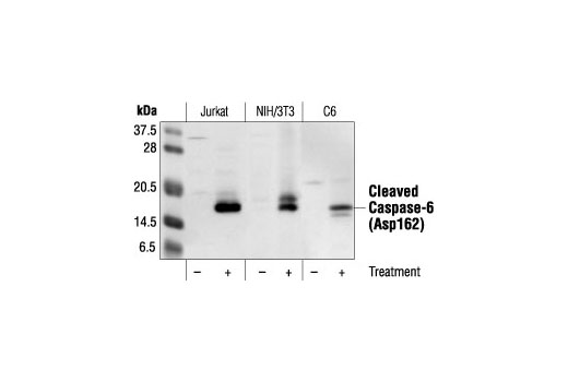 Western blot analysis of Jurkat cell extracts, untreated or etoposide-treated, and NIH/3T3 and C6 cell extracts, untreated or staurosporine-treated, using Cleaved Caspase-6 (Asp162) Antibody.