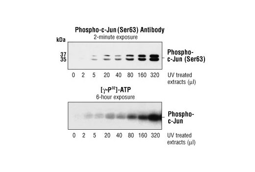 Western Blotting Image 2: SAPK/JNK Kinase Assay Kit (Nonradioactive)