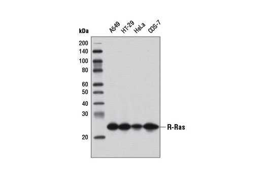 Monkey Ras Protein Signal Transduction