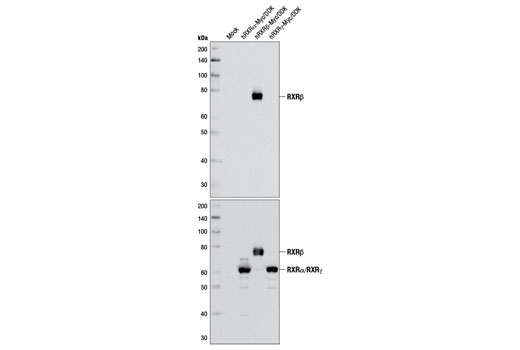 Western blot analysis of extracts from 293T cells, either mock-transfected or transfected with a Myc/DDK-tagged cDNA expression construct encoding full-length human RXRα, RXRβ, and RXRγ, using RXRβ Antibody (upper) or DYKDDDDK Tag Antibody (Binds to same epitope as Sigma's Anti-FLAG<sup>® </sup>M2 Antibody) #2368 (lower).