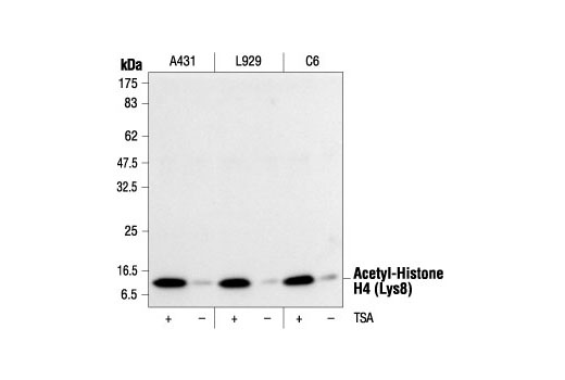 Western blot analysis of extracts from various cell lines, untreated or TSA-treated (400 nM TSA for 12 hours), using Acetyl-Histone H4 (Lys8) Antibody #2594.