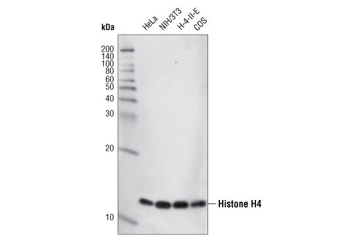 Western blot analysis of various cell lines using Histone H4 (L64C1) Mouse mAb #2935.