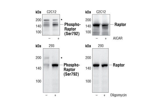 Western blot analysis of C2C12 or 293 cells, untreated (-) or treated (+) with AICAR (0.5 mM, 30 min) or Oligomycin #9996 (0.5 μM, 30 min), using Phospho-Raptor (Ser792) Antibody #2083 (upper and lower left) or Raptor (24C12) Rabbit mAb #2280 (upper and lower right). *Cross-reacting bands at 200 kDa.