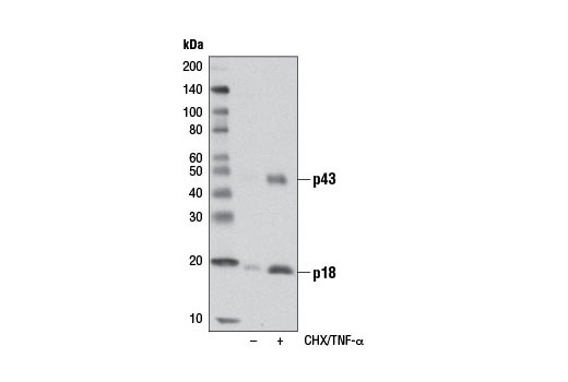 Western blot analysis of extracts from CTLL-2 cells, untreated or treated with cycloheximide (CHX, 10 μg/ml, overnight) followed by hTNF-α #8902 (20 ng/ml, 4 hours), using Cleaved Caspase-8 (Asp387) (D5B2) XP<sup>®</sup> Rabbit mAb (Mouse Specific).
